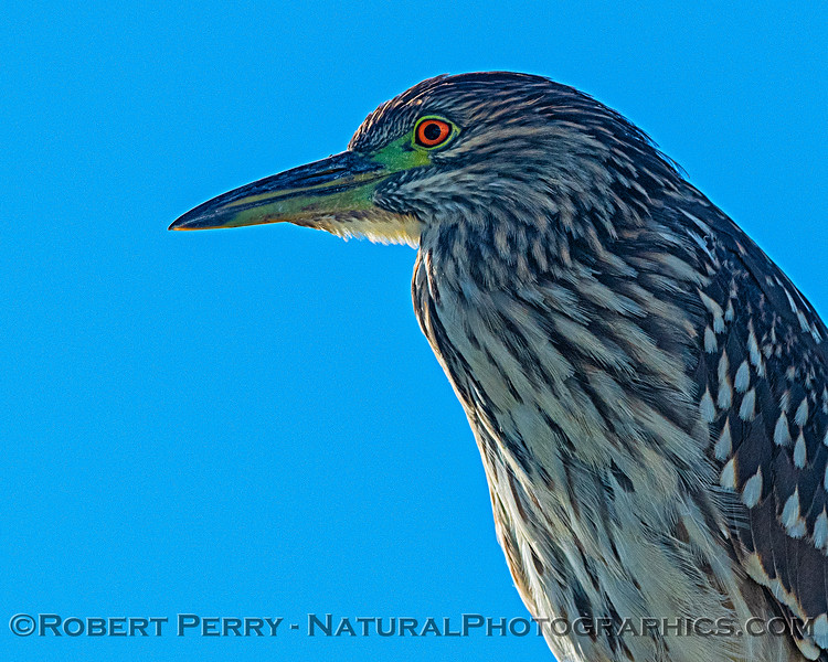 Nycticorax nycticorax perched on boat railing 2019 10-23 SB Channel-a-018