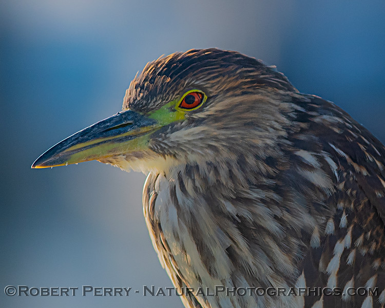 Nycticorax nycticorax perched on boat railing 2019 10-23 SB Channel-a-010