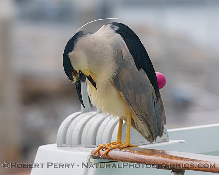 Nycticorax nycticorax on vessel Truth 2019 05-03 SB Harbor--063