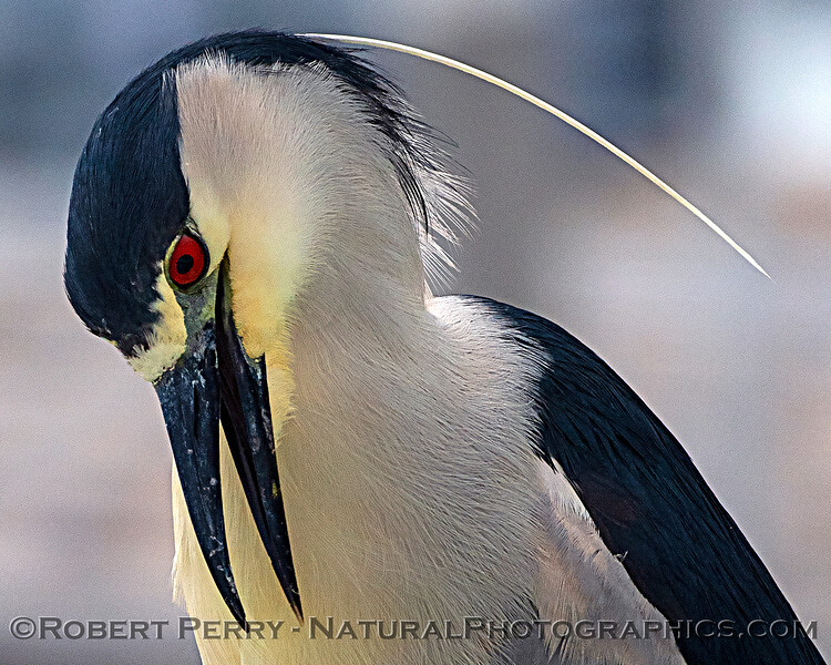 Nycticorax nycticorax FACE AND HEAD on vessel Truth 2019 05-03 SB Harbor--027