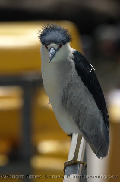 Nycticorax nycticorax Black crowned Night Heron 2008 04-20 Santa Barbara -- 010