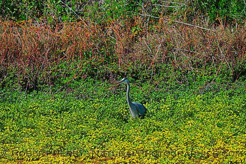 Ardea herodias in duckweed mass 2020 04-02 Yolo ByPass-006LARGE