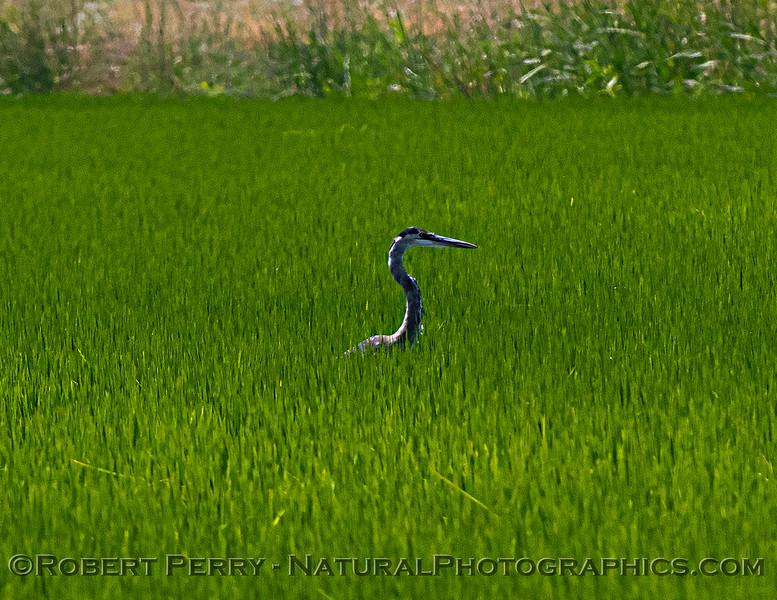 Ardea herodias in rice field 2021 07-17 Yolo ByPass--002