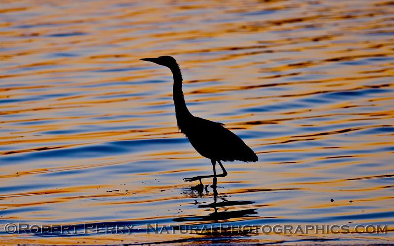 Ardea herodias silhouette at dawn 2009 09-26 SB Harbor - 005