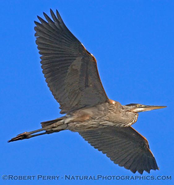 Ardea herodias blue heron in flight 2006 07-11 SM Bay--032MODcrop