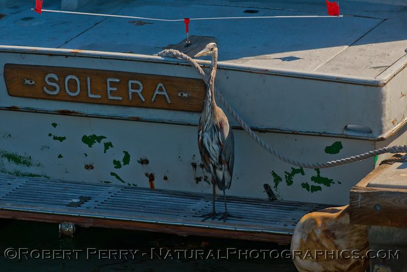Ardea herodias on swim step of vessel Solera 2014 09-17 SB Channel-004