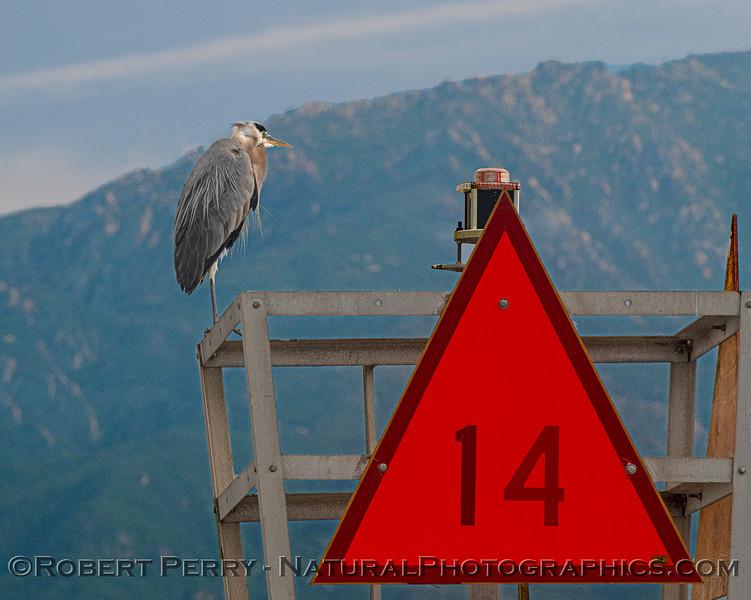 Ardea herodias on harbor entrance marker 2020 06-12 SB Channel--016