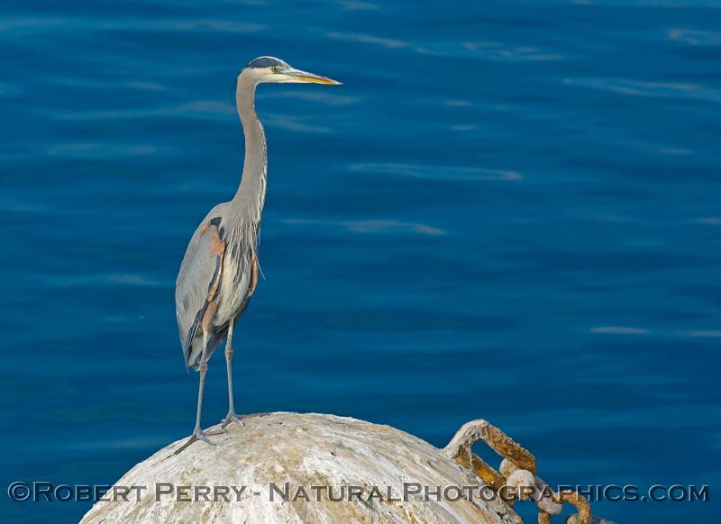 Ardea herodias blue heron 2008 12-21 SB Harbor - 071modCOP