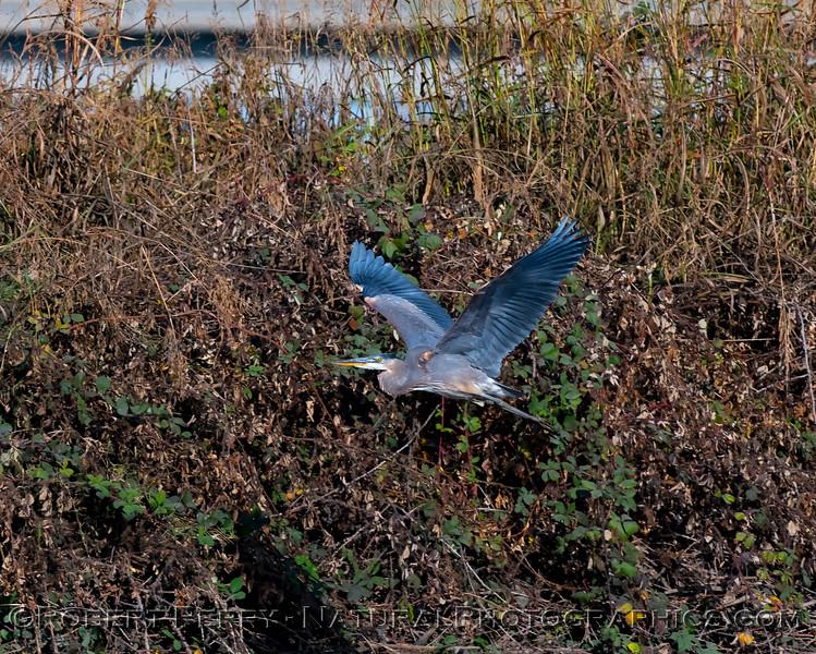 Ardea herodias Great blue heron in flight 2018 11-04 S Mokelumne River-002