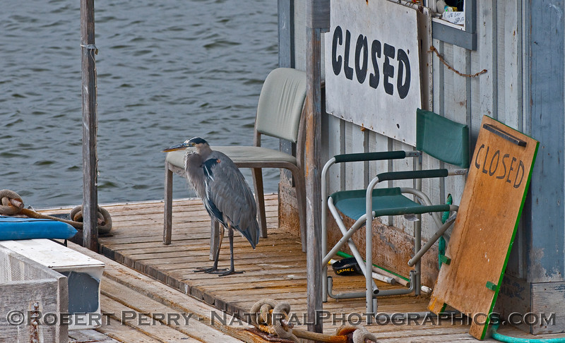 Ardea herodias near chair and closed sign bait barge 2009 10-10 SB Harbor - 002