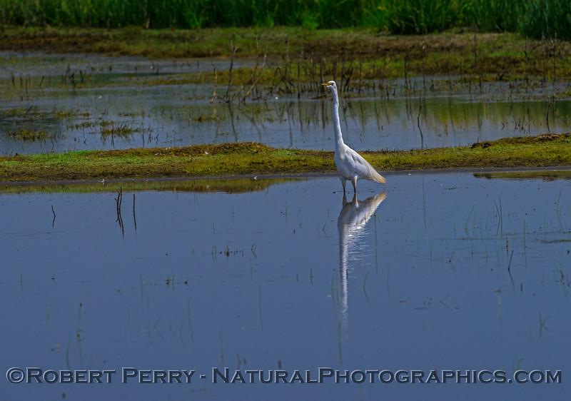 Ardea alba feeding 2017 05-28 Cosumnes River Preserve-b-043