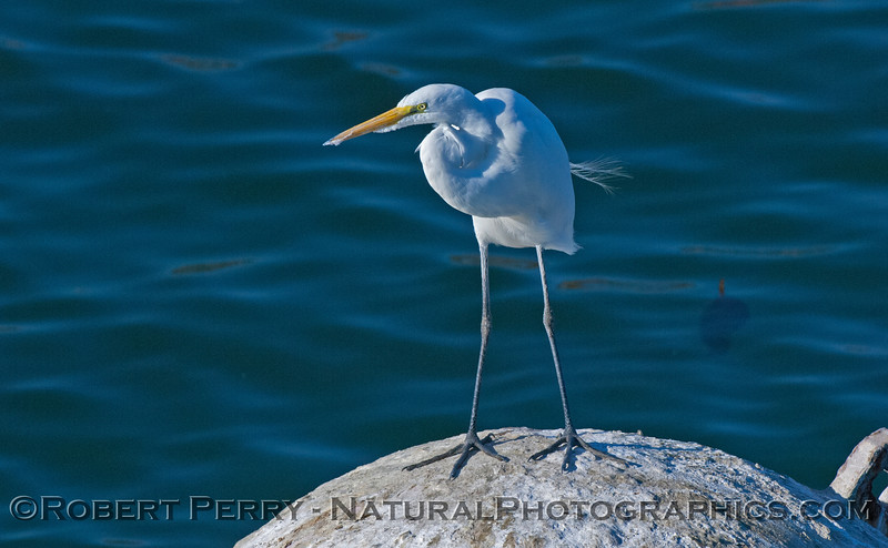 Ardea alba great egret on mooring can 2008 01-13 SB Harbor -571