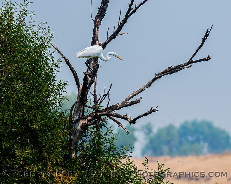 Ardea alba in tree 2020 08-21 Yolo By-Pass-b-031