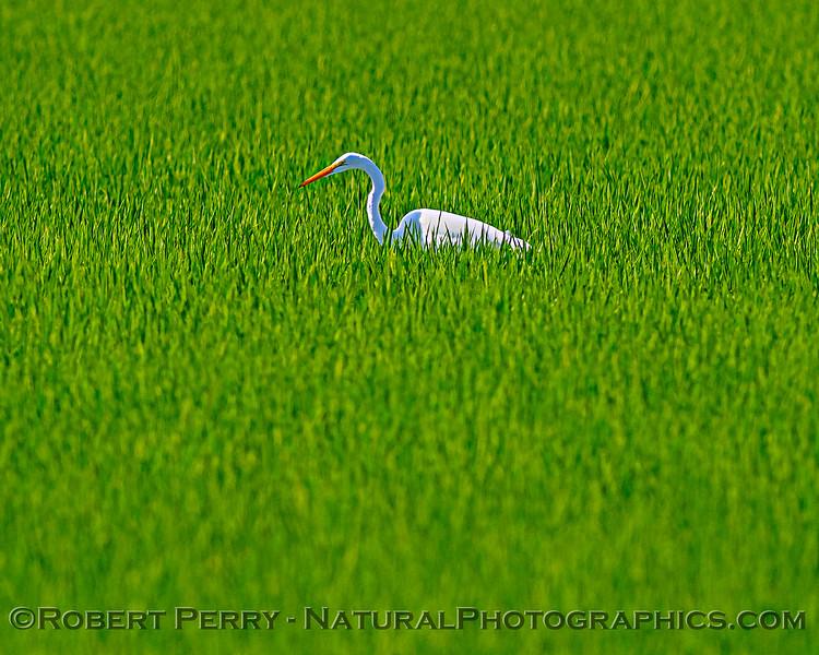 Ardea alba Great white egret in Oryza sativa Rice field 2020 07-23 Yolo ByPass--002