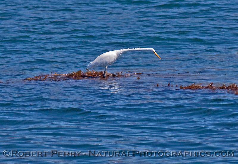 Ardea alba on kelp 2010 09-25 SB Channel - 199