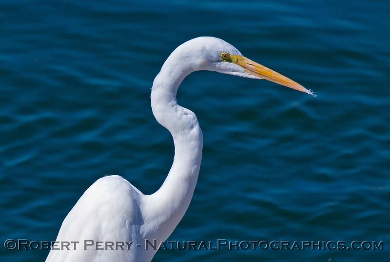 Ardea alba Great Egret 2007 02-17 Santa Barbara Harbor--145