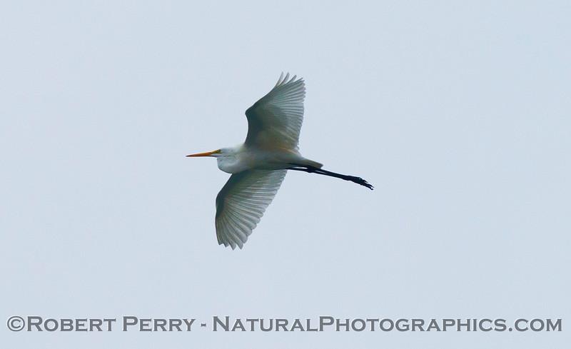 Ardea alba in flight up high 2012 11-01 Zuma-002