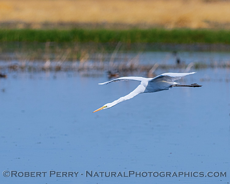 Ardea alba in flight above pond 2019 10-03 Merced NWR--001