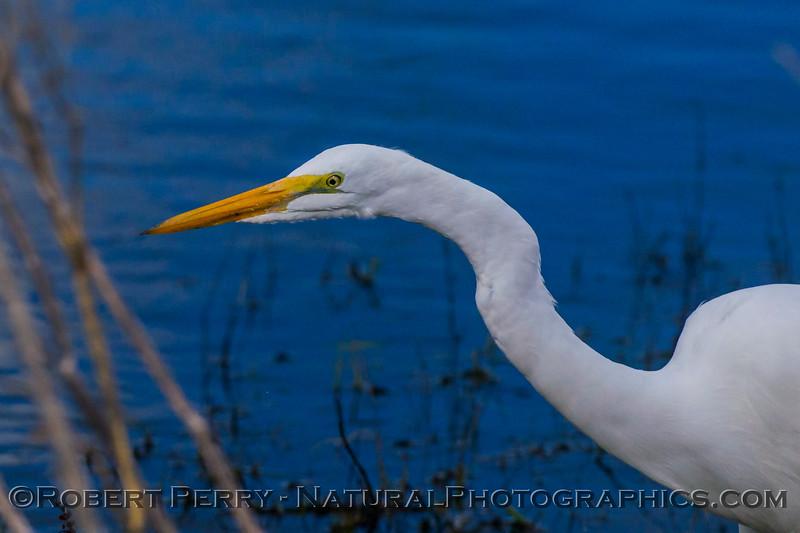 Ardea alba Great white egret 2017 11-11-Sac NWR-010