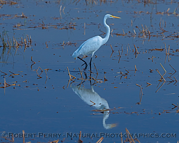 Ardea alba reflected in pond 2018 10-11 Yolo by Pass--021