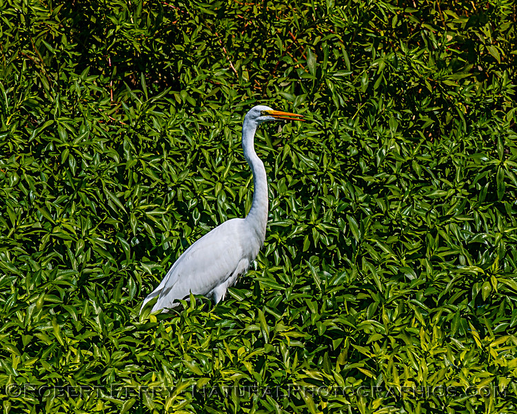 Ardea alba surrounded by leaves 2019 10-04 Merced NWR-b-003