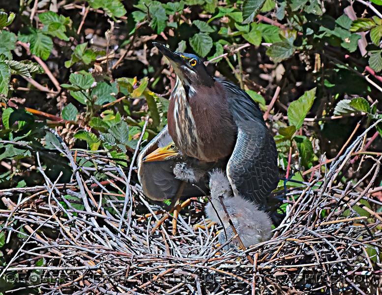 Butorides virescens Green Heron NEST 2021 05-31 Folsom--595