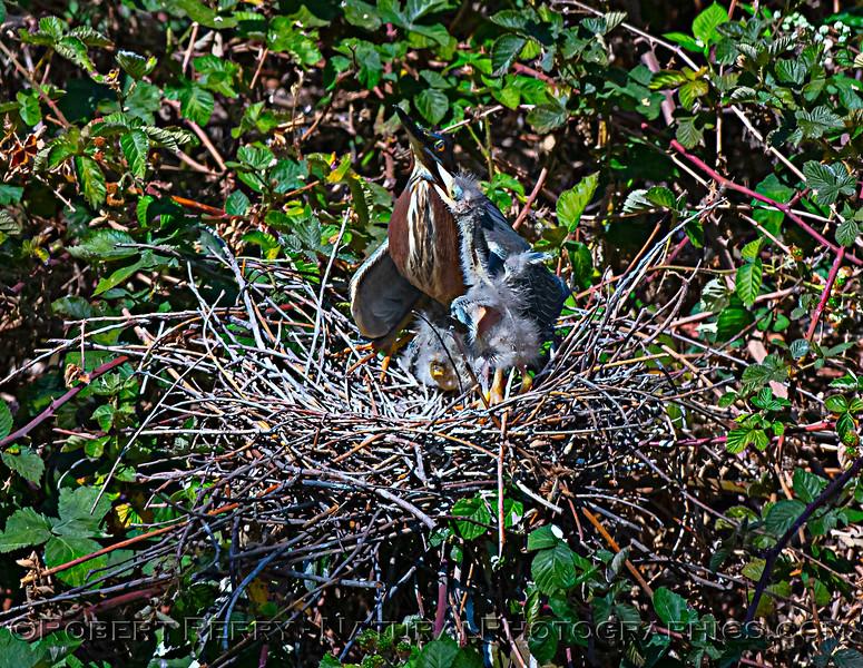 Butorides virescens Green Heron NEST 2021 05-31 Folsom--448