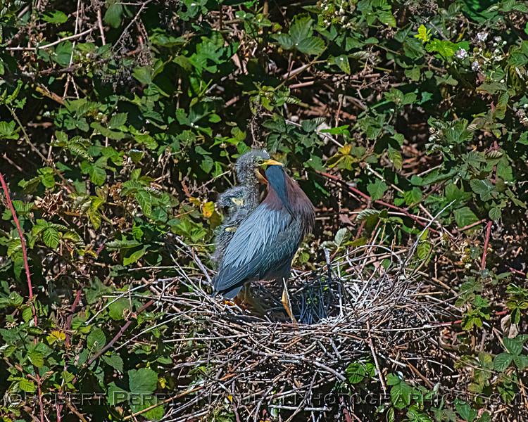 Butorides virescens Green Heron NEST 2021 06-02 Folsom--476