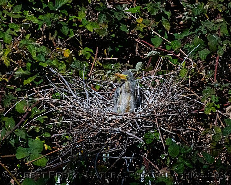 Butorides virescens Green Heron NEST 2021 06-02 Folsom--043