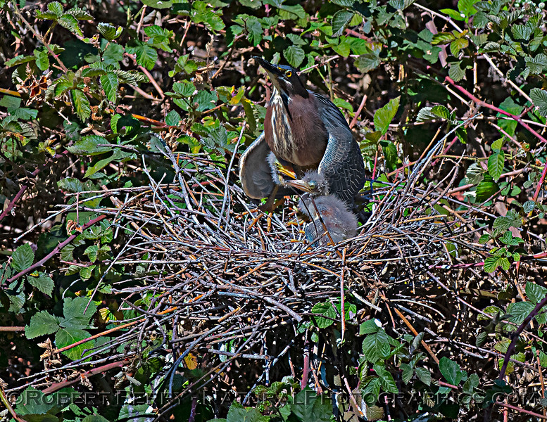 Butorides virescens Green Heron NEST 2021 05-31 Folsom--589