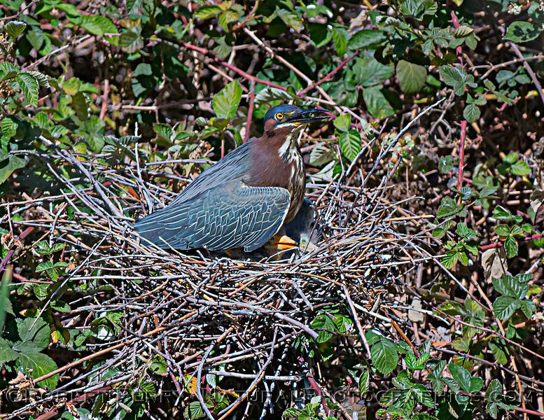 Butorides virescens Green Heron NEST 2021 05-30 Folsom--115