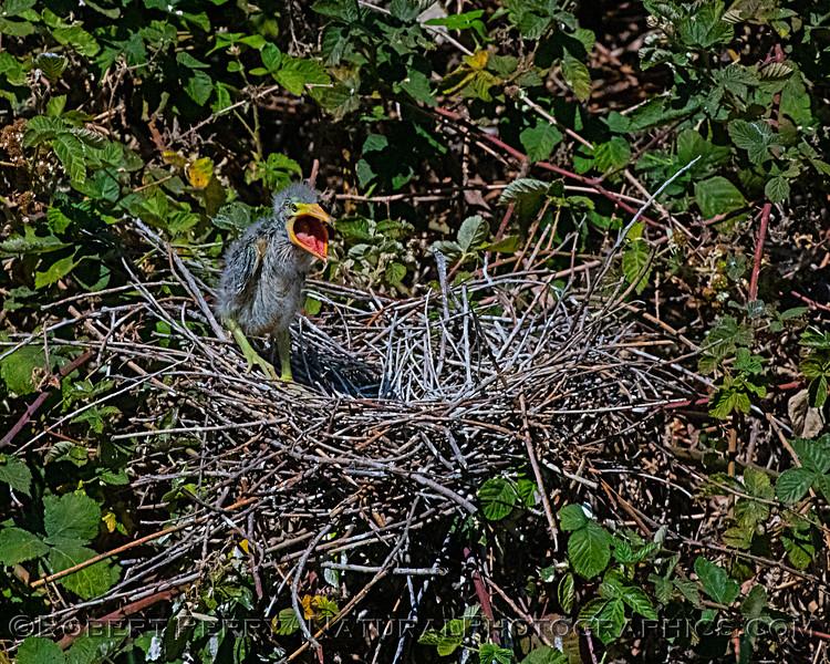 Butorides virescens Green Heron NEST 2021 06-02 Folsom--388