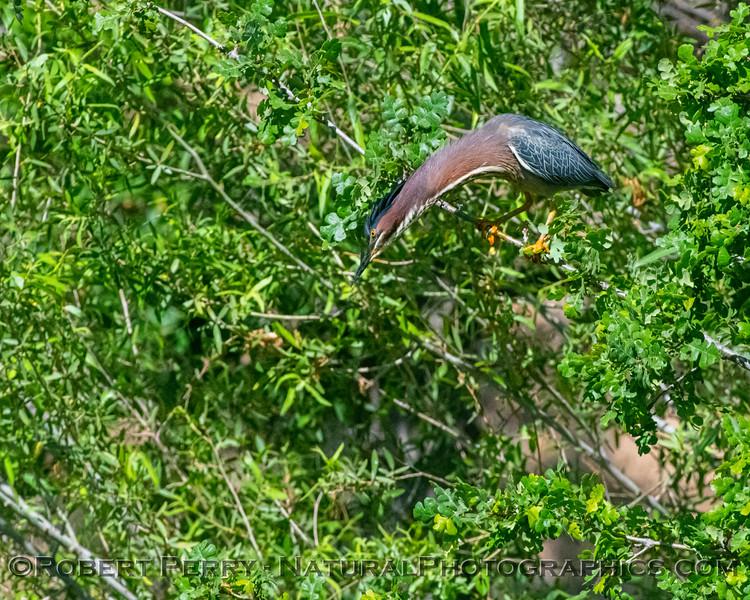 Butorides virescens Green Heron NEST 2021 06-02 Folsom--070