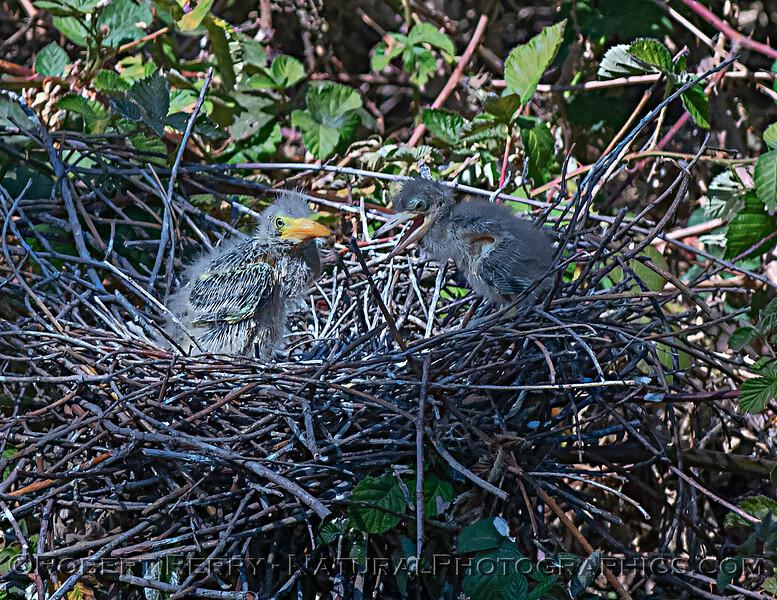Butorides virescens Green Heron NEST 2021 05-31 Folsom--196