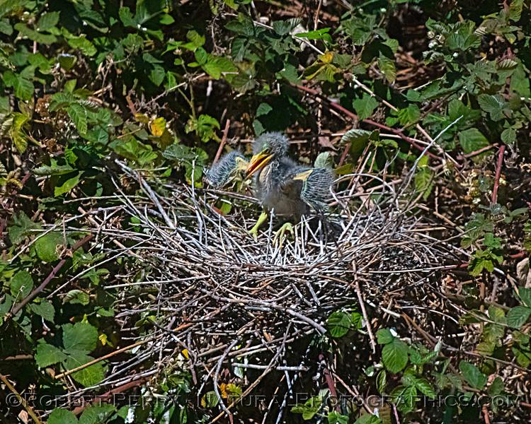 Butorides virescens Green Heron NEST 2021 06-02 Folsom--510