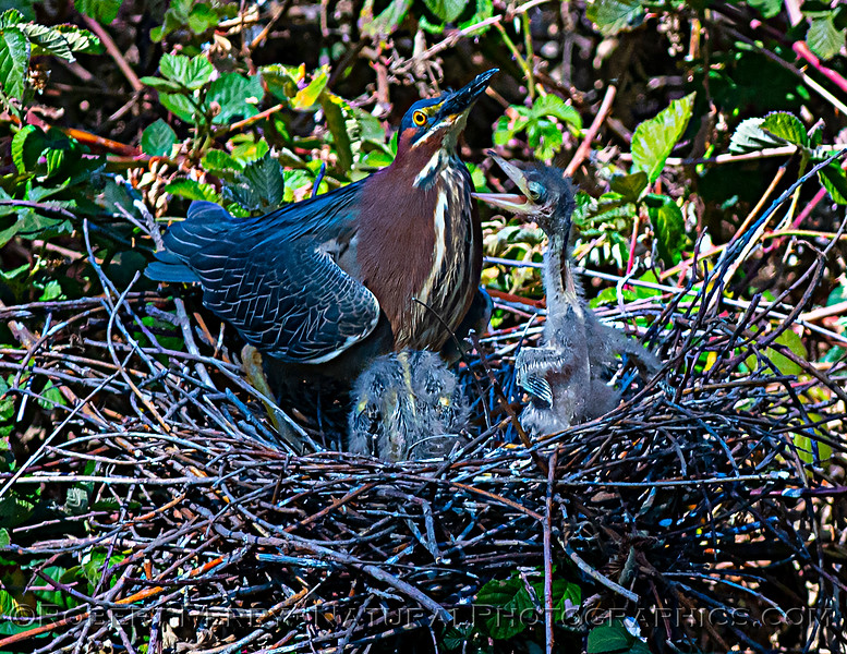 Butorides virescens Green Heron NEST 2021 05-31 Folsom--118