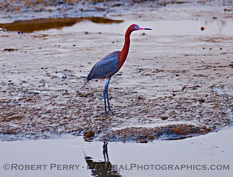 Egretta rufescens - Reddis Egret standing in mud - 2009 03-15 Scammons Lagoon Baja- 231