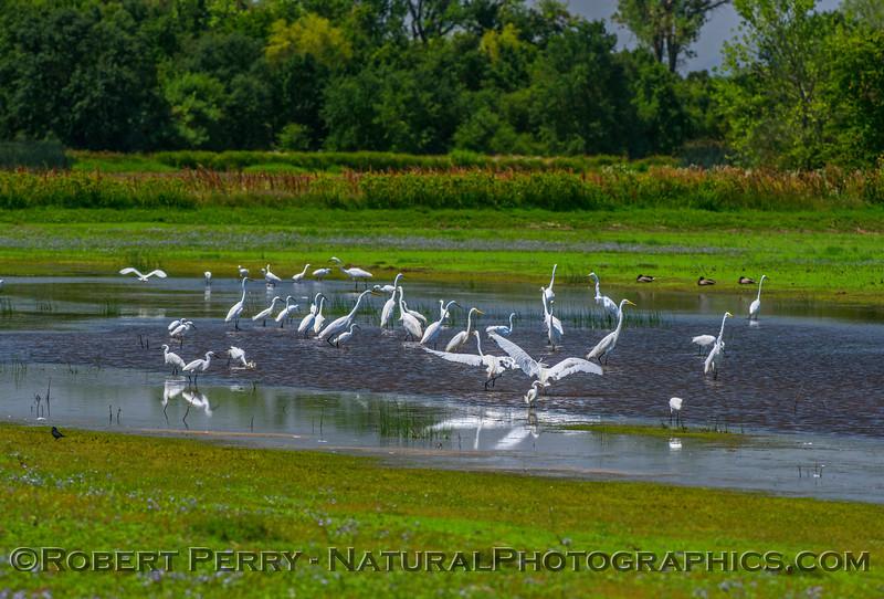 Egretta thula & Ardea alba in pond 2017 05-28 Cosumnes River Preserve-c-040