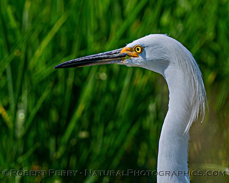 Egretta thula Snowy egret head CLOSE 2020 07-23 Yolo ByPass--016