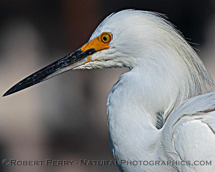 Egretta thula Snowy egret on vessel Vision 2020 08-27 SB Harbor-020