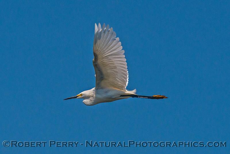 Egretta thula in flight 2017 05-28 Cosumnes River Preserve- 013