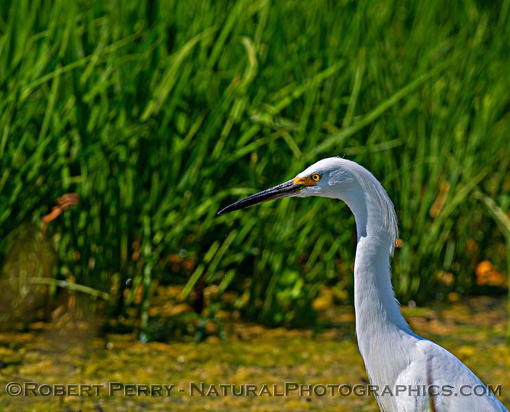 Egretta thula Snowy egret 2020 07-23 Yolo ByPass--006
