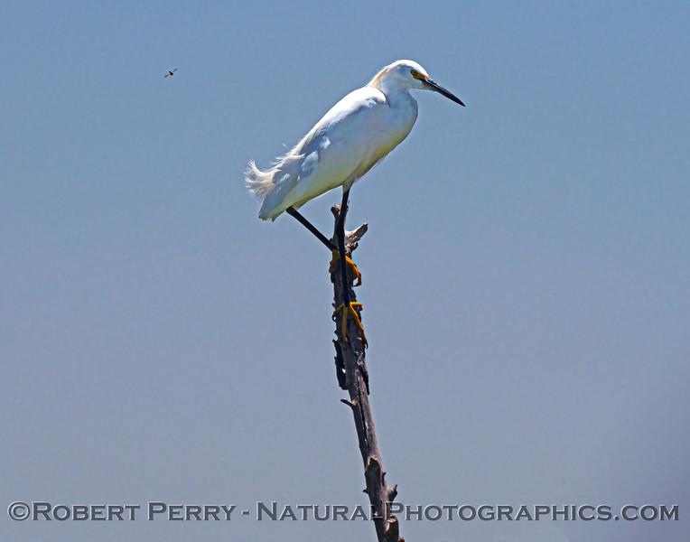 Egretta thula Snowy egret 2021 07-17 Yolo ByPass--004