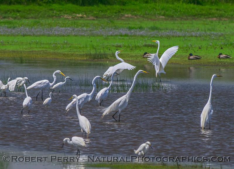 Egretta thula & Ardea alba in pond 2017 05-28 Cosumnes River Preserve-c-044