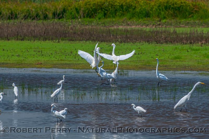 Egretta thula & Ardea alba in pond 2017 05-28 Cosumnes River Preserve-c-099