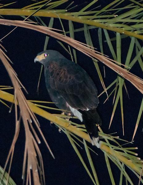 Harris's Hawk (first contact @ 6:29AM)