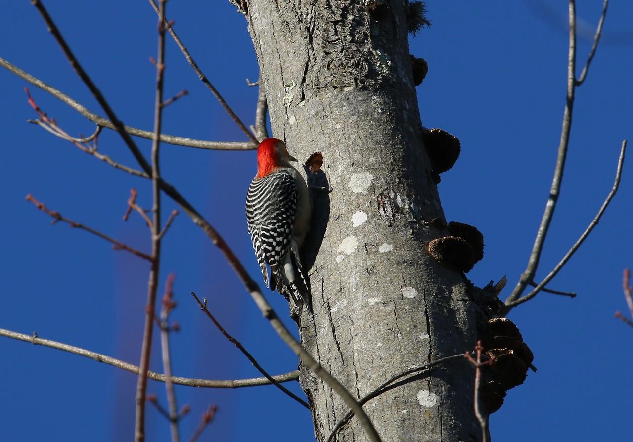 Reg Bellied Woodpecker