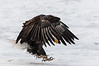 Eagle eye on the prize, Chilkat River