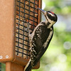 Hairy Woodpecker<br /> 27 JUN 2009