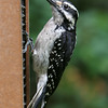 Hairy Woodpecker<br /> 17 JUN 2008